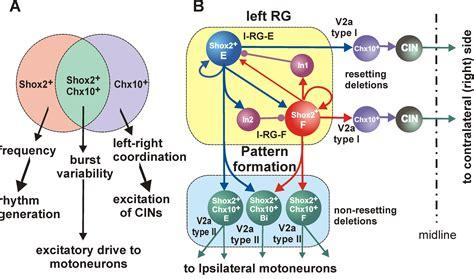 central pattern generator spinal neurons ilya rybak projects