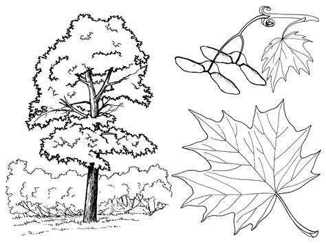 Coloring Page Maple Trees Maple Tree Coloring Page