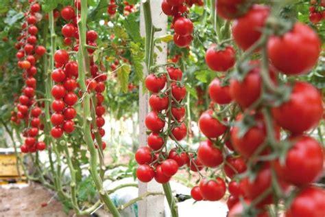 pomodoro ciliegino in vaso come coltivare il pomodoro ciliegino nell orto o sul