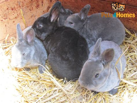 2019 Mini Rex Nationals by Mini Rex Rabbits Bury St Edmunds Suffolk Pets4homes