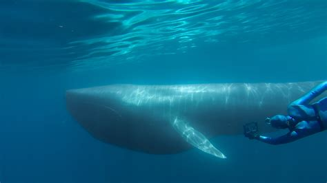 The Blue gopro the search for the blue whale a prelude to