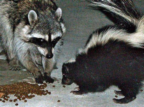 dead raccoon in my backyard november 2010 natural unseen hazards blog