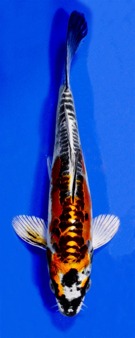 orange koi dragon with blue koi variety guide blue ridge fish hatchery