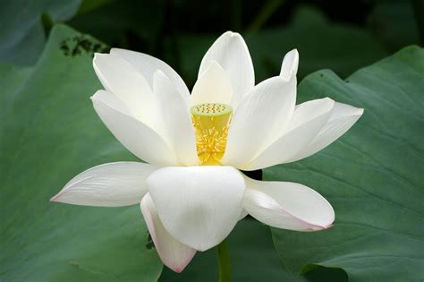 white flower images flower picture lotus flower 7