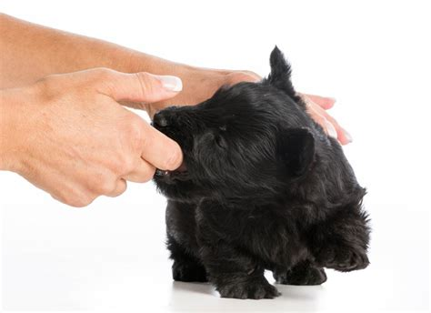 how to stop puppy play biting how to stop your from play biting your