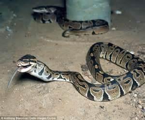 sleep python python strangles 2 boys 5 and 7 in their sleep in new