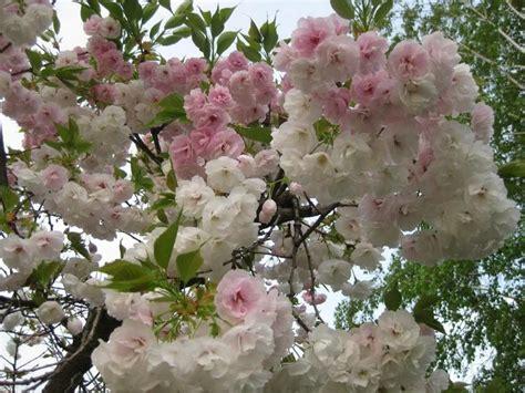 9 cherry tree mifflinburg pa 25 b 228 sta cherry fruit tree id 233 erna p 229 frukttr 228 de och frukttr 228 dg 229 rd
