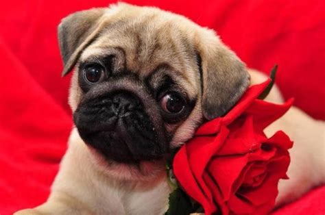 pugs for sale in toronto pug quot i m wearing a flower accessory quot for dogss