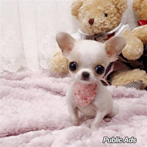 teacup applehead chihuahua puppies for sale adorable teacup chihuahua puppies for sale welkom ads south africa