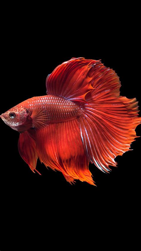 wallpaper for iphone fish apple iphone 6s wallpaper with super red halfmoon betta