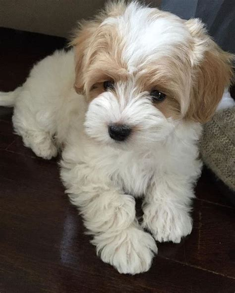 adorable small puppies best 25 puppies ideas on puppies