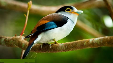 Silver Breasted Broadbill Bird Pictures