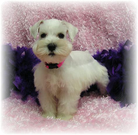 puppy puppy puppy dogs white miniature schnauzer puppies