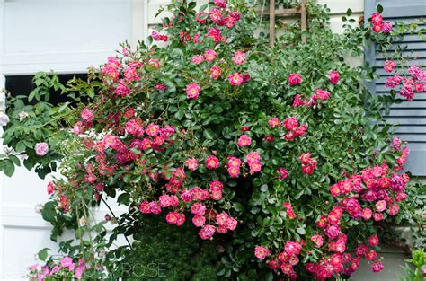 trellis roses installing a trellis for climbing roses onto your house