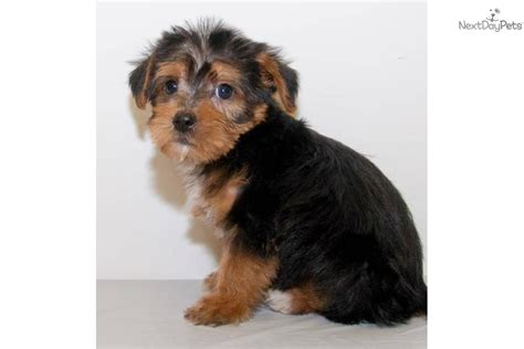 teacup yorkie columbus ohio terrier puppies for sale in columbus ohio how to calculate the delta of a