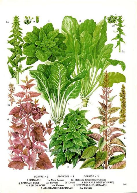 plant food for cut flowers spinach swiss chard salad plant flowers food chart vegetable botanica