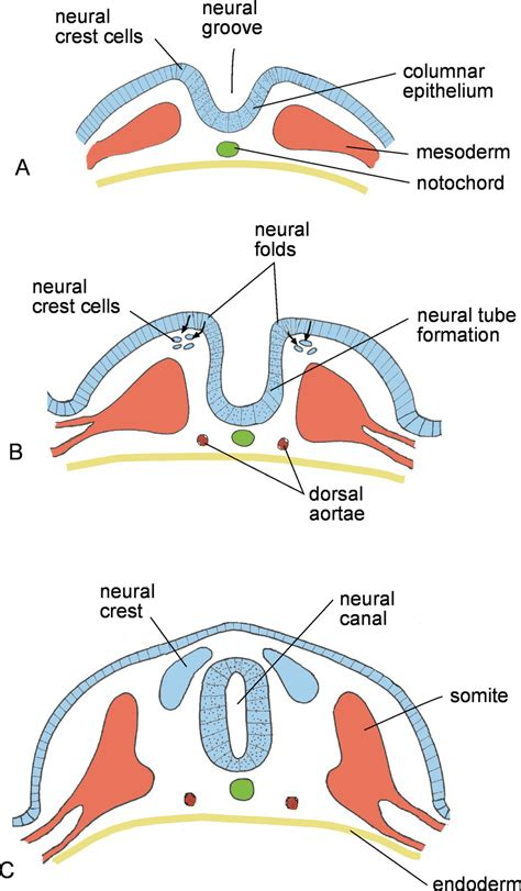 pattern formation of neural tube nervous system veterian key