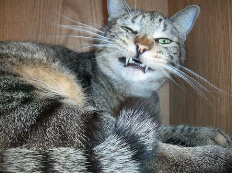 my is sneezing why is my cat sneezing pethelpful