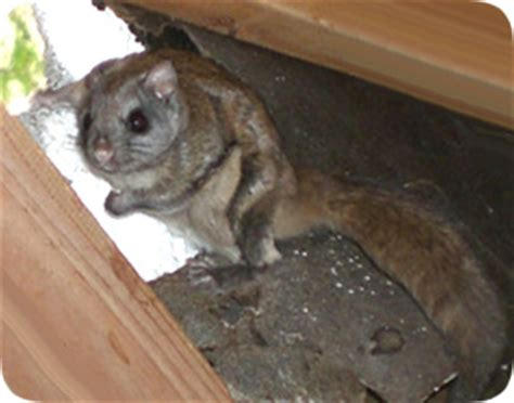 how to get rid of flying squirrels yourself steps and