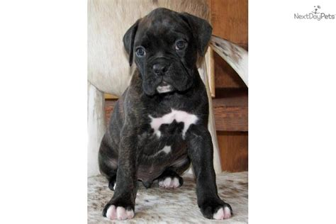 brindle boxer puppies for sale near me boxer for sale for 700 near clarksville tennessee c31767fa c811