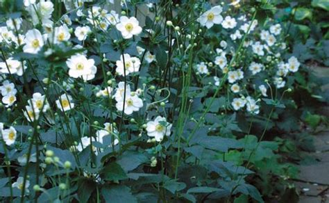 fall blooming plants zone 5 fall blooming anemones finegardening