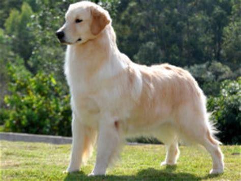 golden retriever blanco todo sobre el golden retriever perros golden retriever