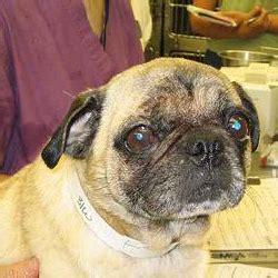 pugs for adoption in ohio ohio pug rescue inc
