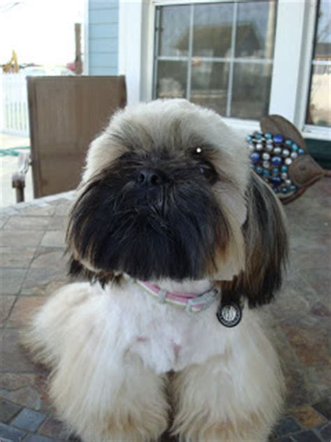 how to cut shih tzu hair at home with scissors database error