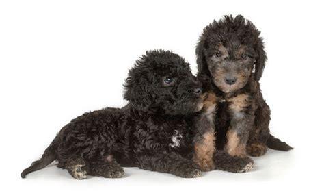 bedlington terrier puppies bedlington terrier breed information