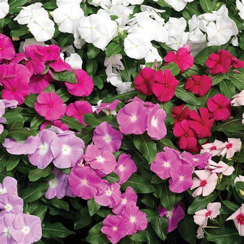 Bunga Vinca Casade Mixed cora 174 mix vinca catharanthus roseus proven winners