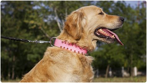 golden retriever collars golden retriever walking in superb quot pink quot leather collar with spikes