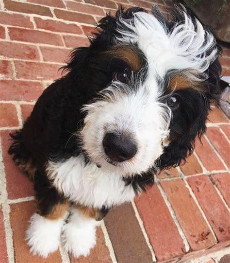 border doodle puppies for sale australia best 25 border collie poodle mix ideas on