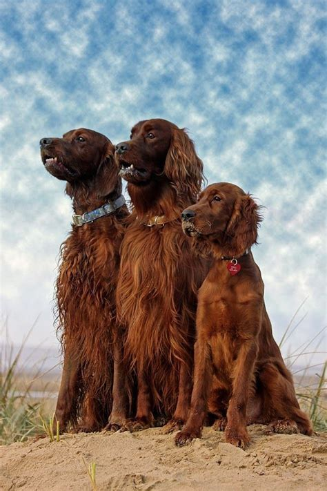irish setter dog hiking 126 best images about irish setter on pinterest irish