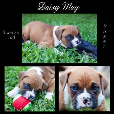 6 week boxer puppy 17 best images about lovely pets on orange kittens baby chimpanzee and