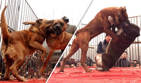 dogs in china dogs forced to fight to their in front of baying mob at sick festival nature