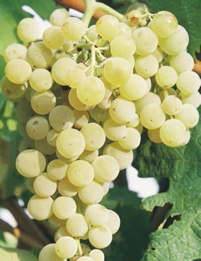 uva fragola in vaso vivaismo viticolo saonara f lli dainese