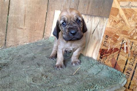 puppies for sale in eastern nc bloodhound puppy for sale near eastern nc carolina 2f7c5cdc 7801