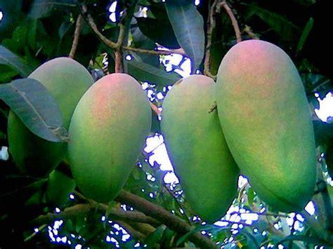 gambar pohon rambutan rumah oliv