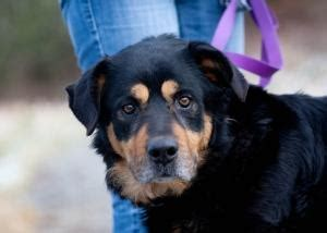 senior rottweiler 283 curated pets needing homes ideas by vitiepie shelters doberman pinscher and
