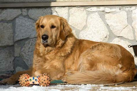 distichiasis golden retriever golden retriever breed information k9 research lab