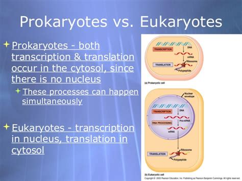 where in a eukaryotic cell does translation occur ap bio ch 17 part 1 translation