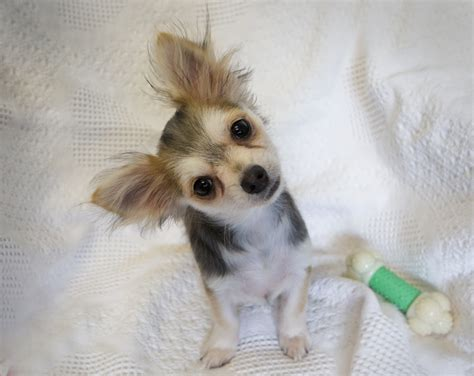 free chihuahua puppies near me puppies available for adoption near me pets world