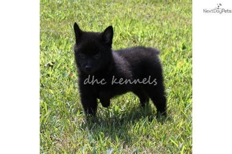schipperke pomeranian mix puppies for sale chihuahua schipperke mix personality breeds picture
