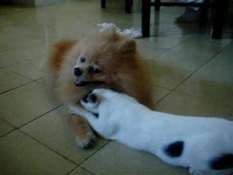 pomeranian and cats between pomeranian and cat