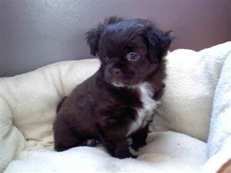 pugs and chihuahuas mix chihuahua pug mix pet
