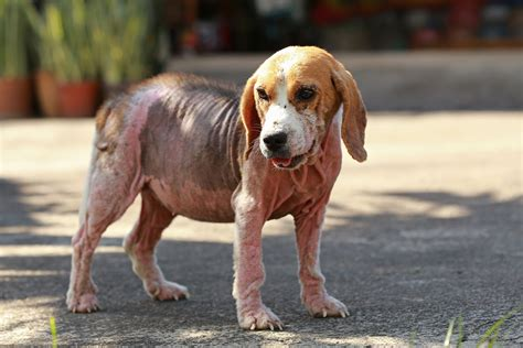 pyoderma in dogs pyoderma in dogs symptoms causes diagnosis treatment recovery management cost