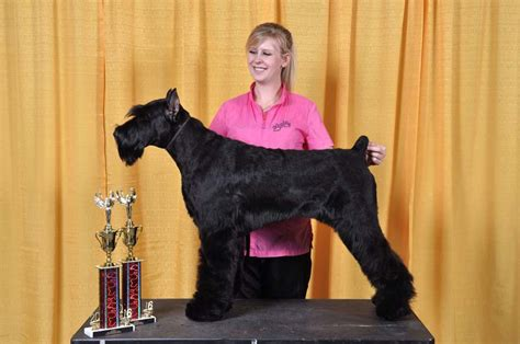 local groomers northwest grooming show brings place for chestermere groomer the chestermere