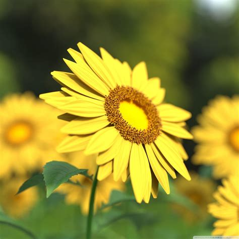 sunflowers wallpapers  background pictures