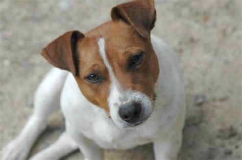 alimentazione boxer adulto russel cani taglia piccola caratteristiche