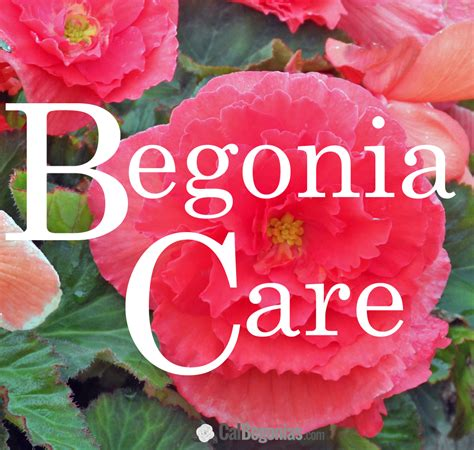begonia care customer questions calbegonias com